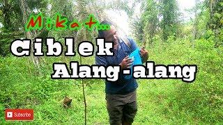 Download Mp3 Memikat Ciblek Alang - Alang