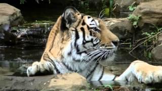 虎が水浴びするシーンです。