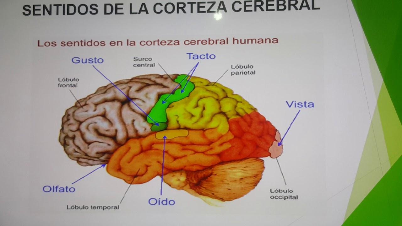 Vistoso Etiquetar El Diagrama De La Anatomía Del Oído Imágenes ...