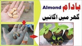 How to Grow Almond Badam /बादाम की खेती Easy Process Step by Step बादाम की खेती kitchen garden