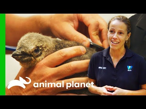 Struggling Baby Penguin Gets First Visit From Vet | The Zoo