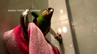 Senegal parrot voice (Poicephalus senegalus)