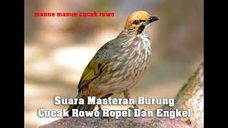 Suara Masteran Burung Cucak Rowo Ropel Dan Engkel screenshot 1
