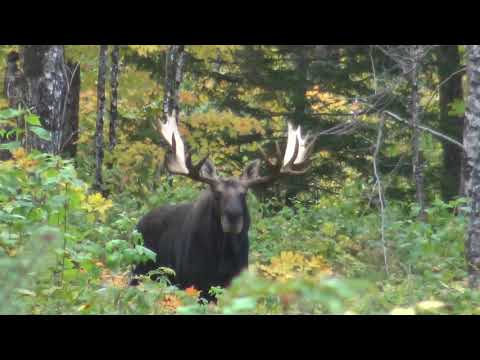 MAINE BLACK BEAR HUNTING 2018 WITH UNBOUND ADVENTURES