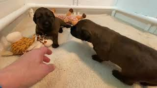 16 day old Briard puppies