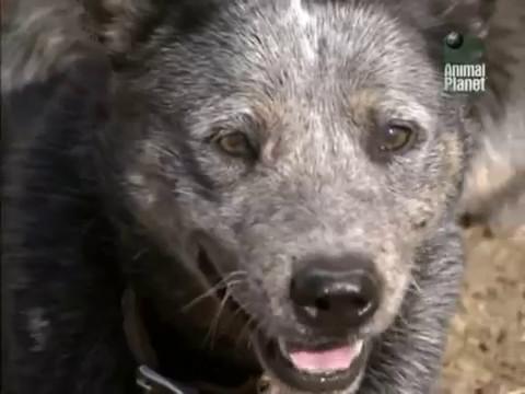 О породе Австралийская пастушья собака (Австралийская пастушья собака, австралийский хилер)