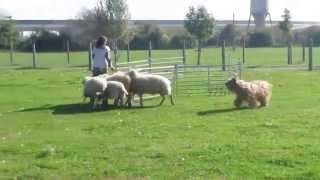 Apatschi Beim Schafe Hüten