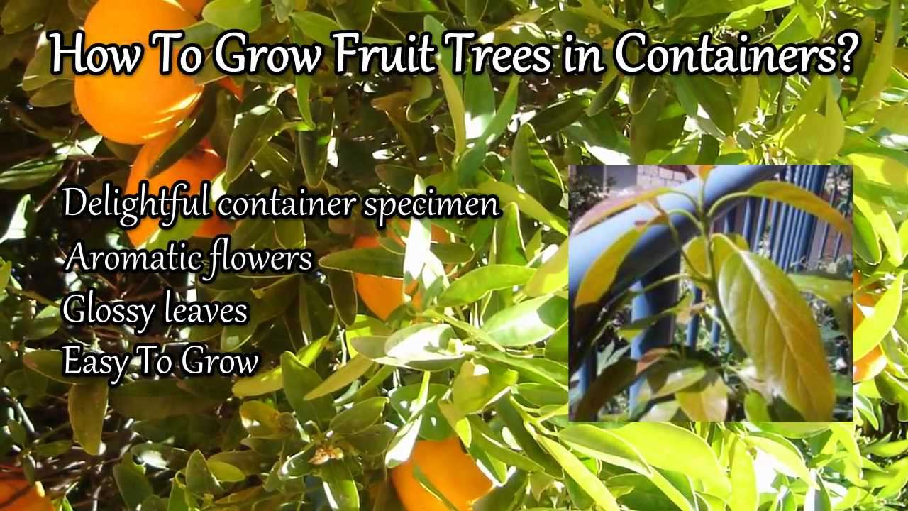 how to grow fruit trees in containers youtube