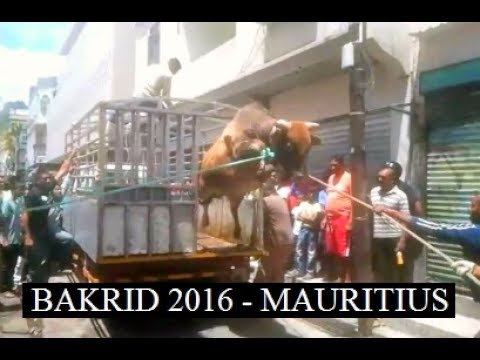 Bakr eid 2014 - Angry bull - Graphic image PART 1