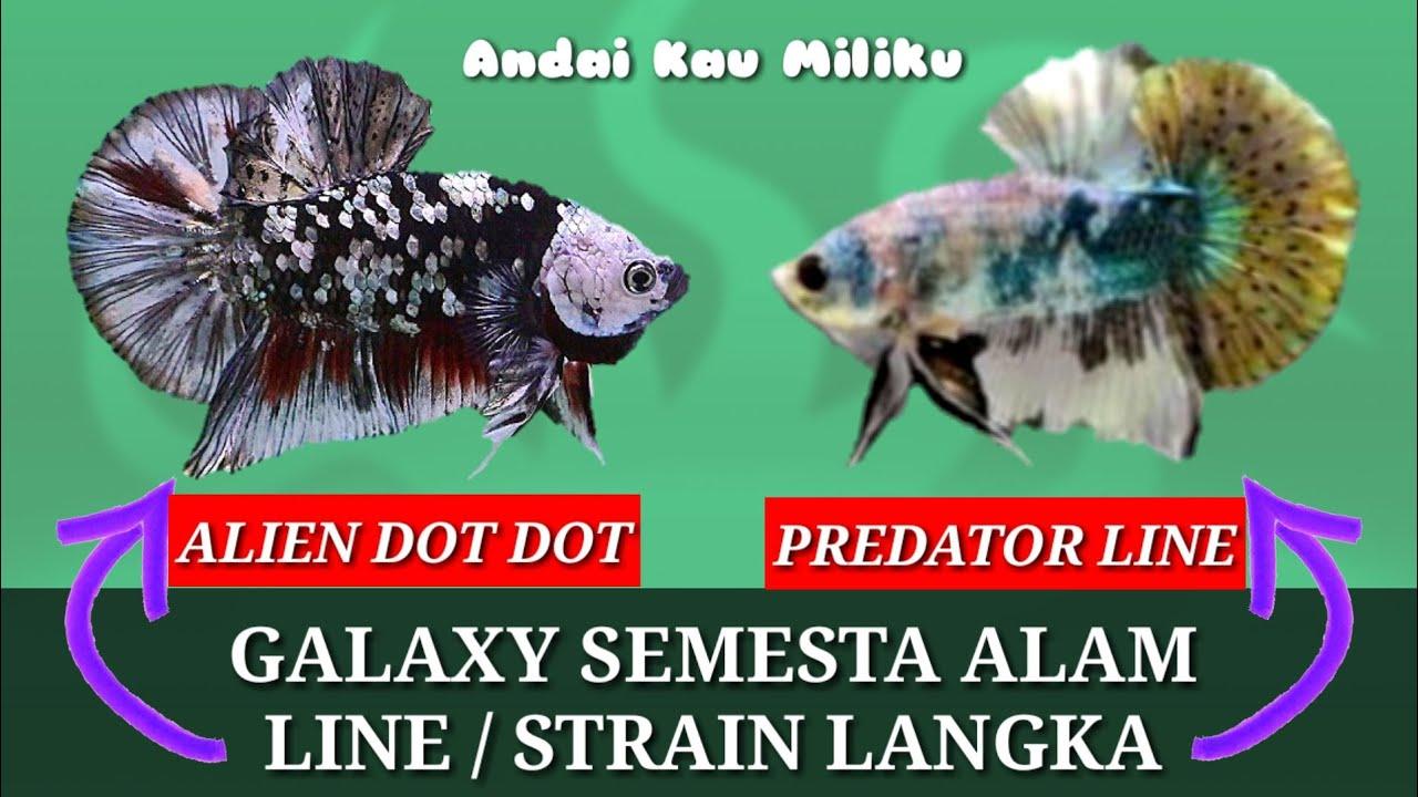Ikan Cupang Avatar Youtube