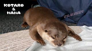 カワウソがベッドですねちゃった理由がかわいい Why Is The Cute Otter Grumpy?