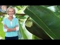 Hojas De Guanabana Para El Cancer Preparacion - Como Preparar La Hoja De Guanabana