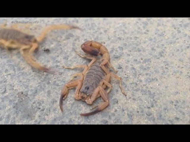 Escorpião mais perigoso do Brasil pode matar em até três horas