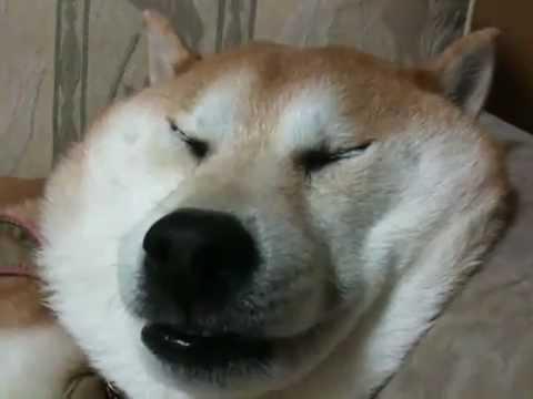 Прикольная собака спит и храпит.flv