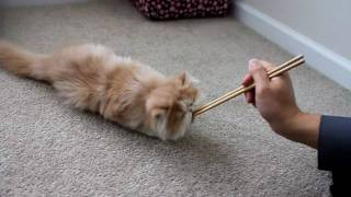 Cooper The Puppy Cat Does The Roll Over Trick  子貓の訓練