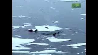 Orcas Attack Seal Касатки атакуют Тюленя