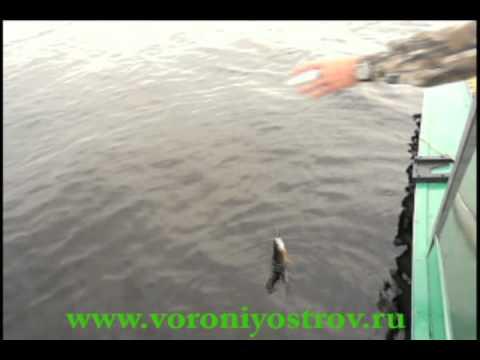 хариус ловля на онежском озере