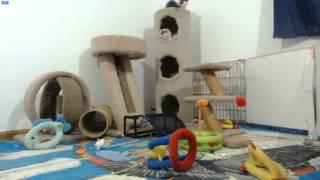 Looney Tunes Kittens - Hazel purring
