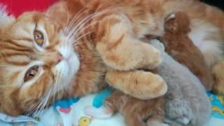 Лактостаз, застой молока у кошки