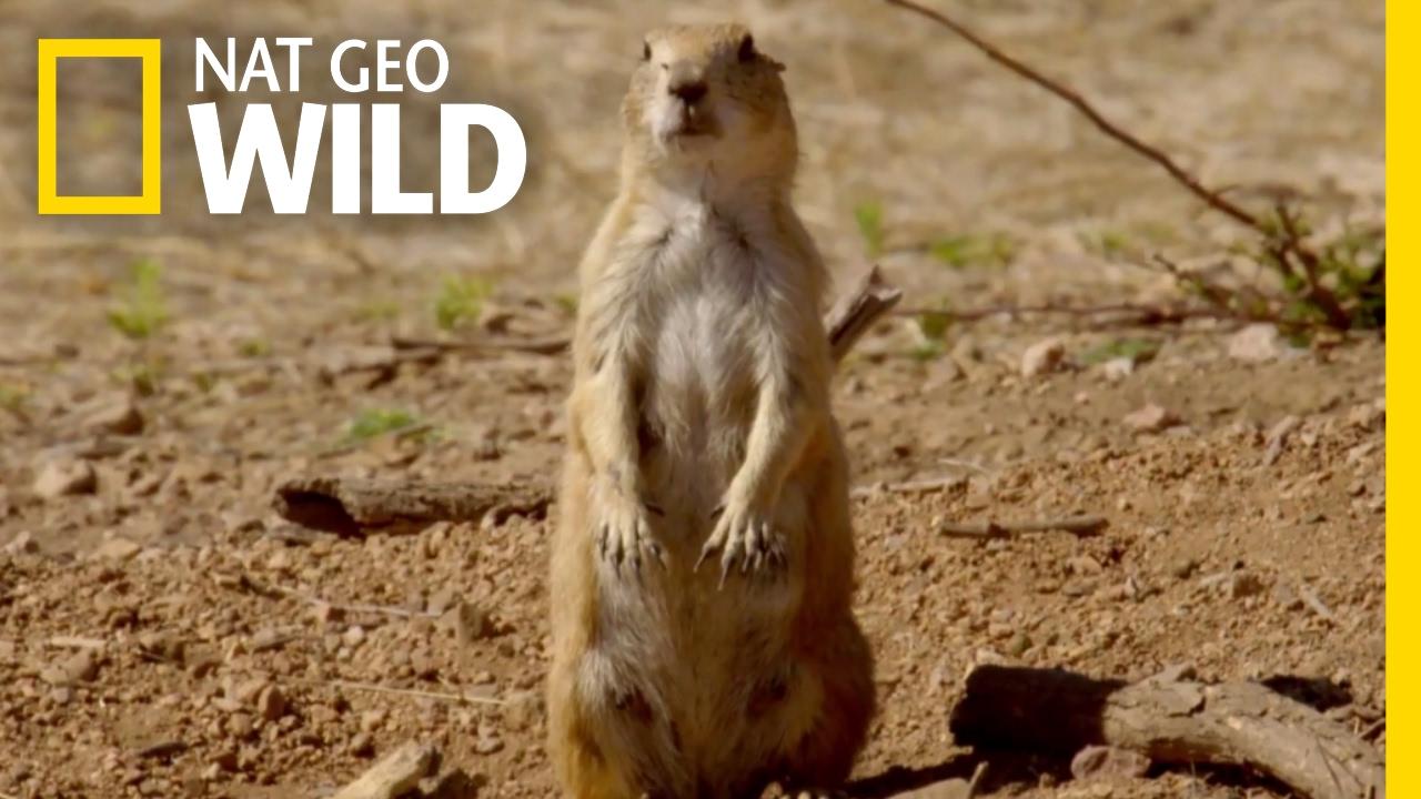 The Prairie Dog Life Destination Wild Youtube