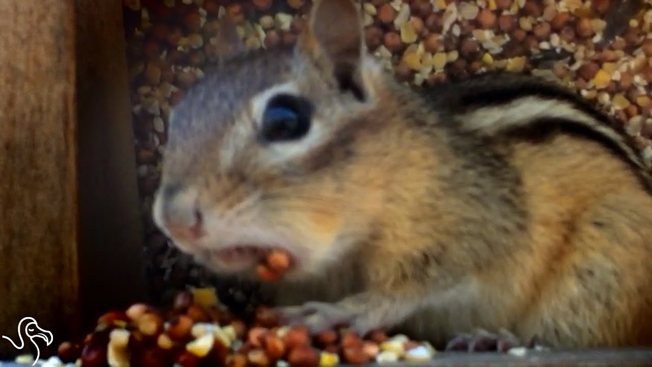 chipmunk discovers the limits of stuffing nuts in his cheeks youtube