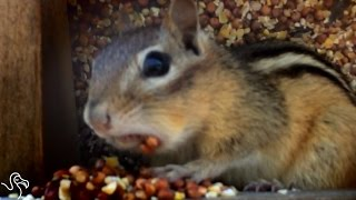 Chipmunk Discovers The Limits Of Stuffing Nuts In His Cheeks