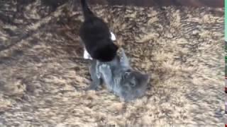 Котята Мейн-Кун 1 месяц