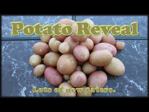 potato-reveal---grown-in-rice-hulls