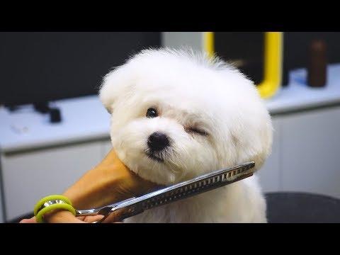비숑 배냇미용 전체 가위컷 / pet dog bichon frise grooming