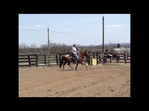 AQHA DASH FOR PERKS GRANDSON, RED ROAN STALLION, RIDING NICELY