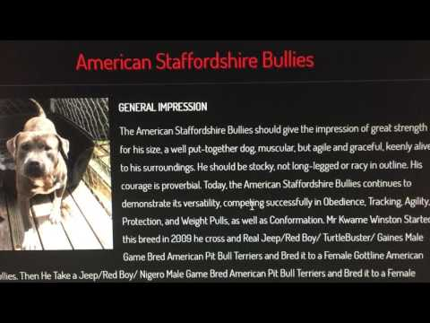NEW BREED THAT WE STARTED AMERICAN STAFFORDSHIRE BULLIES