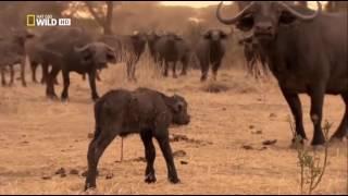 Война львов  Дикая Африка  Документальный фильм про животных