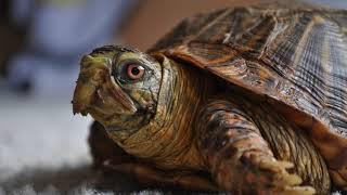 Картинка рептилии. Черепаха, панцирь | Picture reptiles. Tortoise, shell