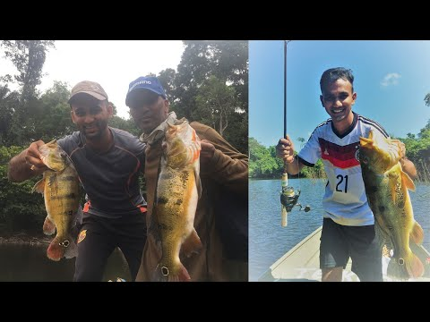 Peacock Bass And Wolffish  - Suriname