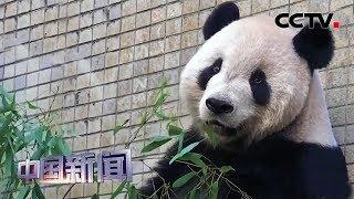 [中国新闻] 为健康控制体重 赠台大熊猫团团运动减肥 | CCTV中文国际