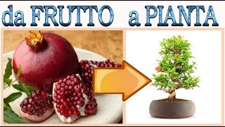 come fare nascere un melograno dai semi del frutto a costo zero ,how to grow pomegranate, granada