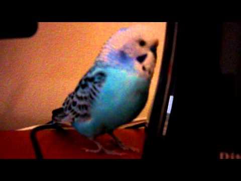 Армянский говорящий попугай
