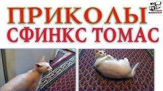 Забавный, весёлый, домашний кот Сфинкс Томас. Животные в доме.