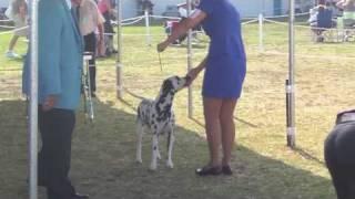 South Bay Kennel Club Dog Show Dalmatian