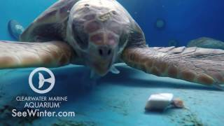 update-on-three-rescued-sea-turtles-alvin-simon-and-theodore