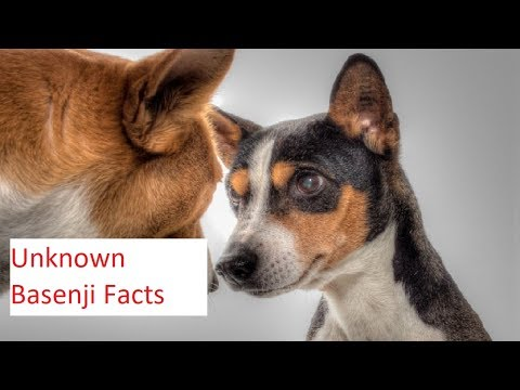 Barkless But The Cleanest Dog Breed - Basenji Facts
