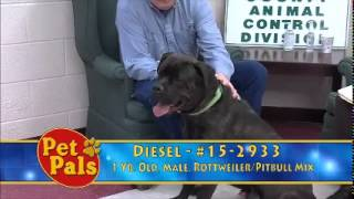 Meet Diesel A Rottweiler Currently Available For Adoption At Petango.com! 3/2/2015 3:32:06 Pm