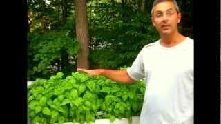 Growing Organic Basil