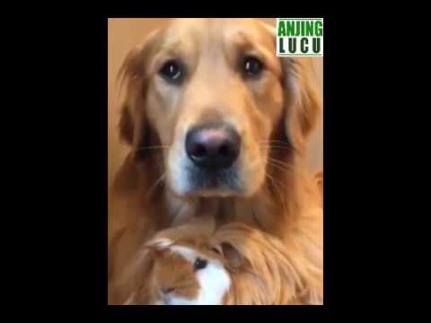 Ajing Lucu