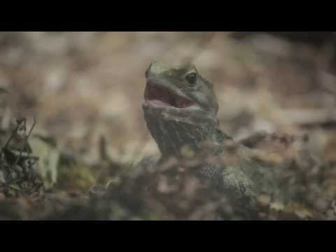 Tuatara - National Aquarium of New Zealand