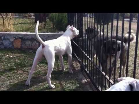 Male Dogo Argentino defending his sister, his house, his family (Greece)