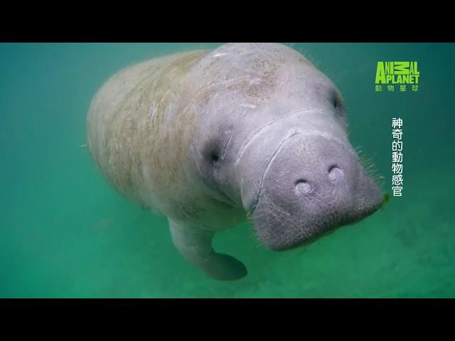 《神奇的動物感官》可愛的海牛臉上圓圓的地方有600根觸鬚,比大象鼻子還靈敏!