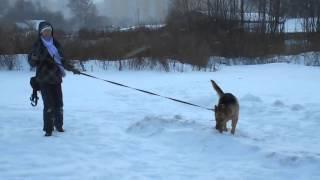 Аттис восточноевропейская овчарка в дар.Февраль 2015