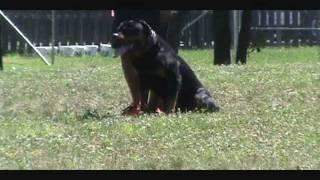 Kingston Martin Vom Bullenfeld - 28 Months (schutzhund Obedience & Protection Training)