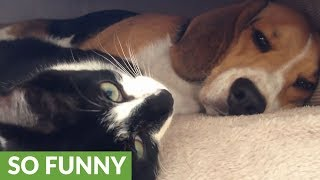 Patient beagle tolerates overly-affectionate kitten